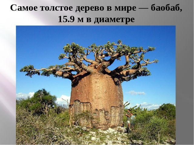 Самое толстое дерево в мире — баобаб, 15.9 м в диаметре