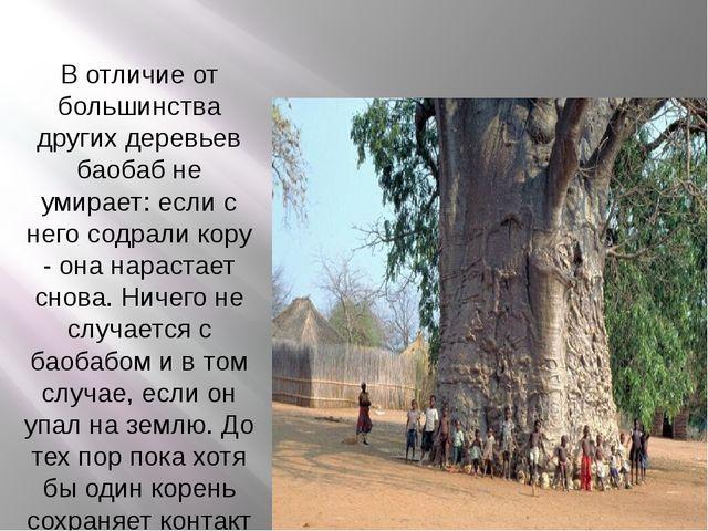 В отличие от большинства других деревьев баобаб не умирает: если с него содр...