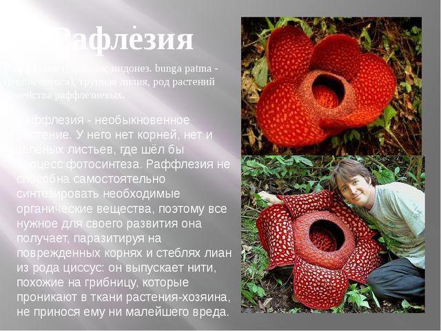 . Раффлезия - необыкновенное растение. У него нет корней, нет и зелёных листь...