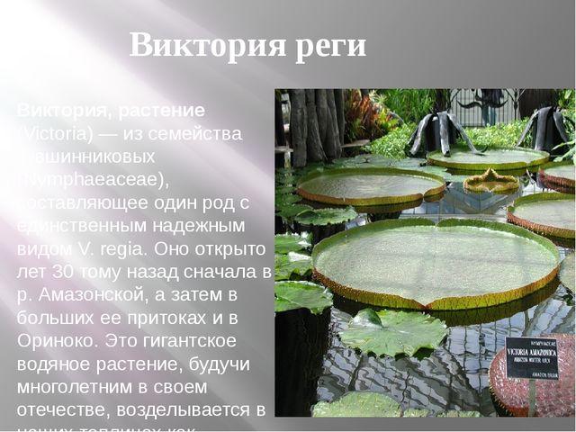 Виктория, растение (Victoria) — из семейства кувшинниковых (Nymphaeaceae), со...