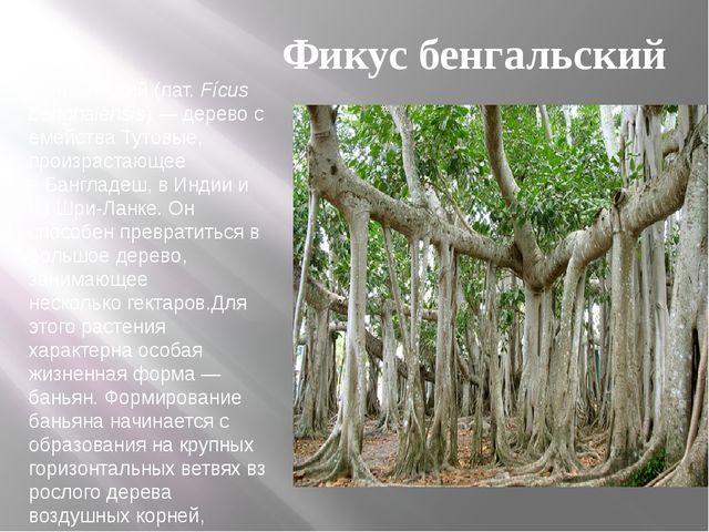 Фи́кус бенга́льский(лат.Fícus benghalénsis)—деревосемейства Тутовые, про...