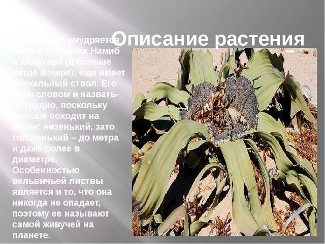 Описание растения Вельвичия умудряется житьв пустыняхНамиб и Калахари (и б...