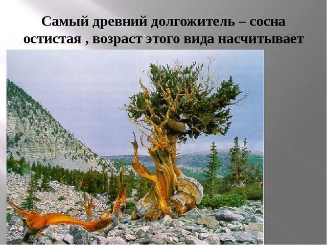 Самый древний долгожитель – сосна остистая , возраст этого вида насчитывает у...