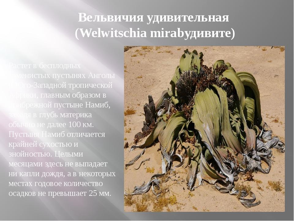 Растет в бесплодных каменистых пустынях Анголы и Юго-Западной тропической Афр...