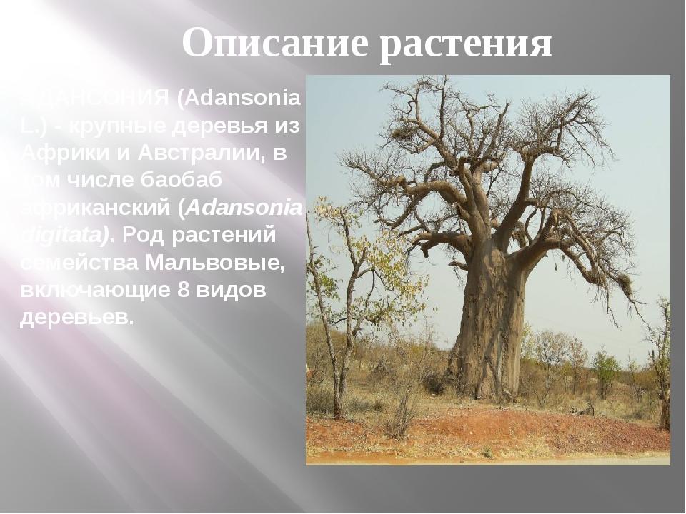АДАНСОНИЯ (Adansonia L.) - крупные деревья из Африки и Австралии, в том числе...