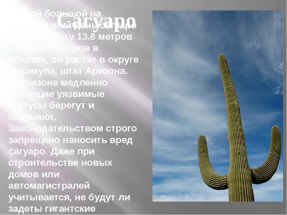 Самый большой на сегодняшний деньсагуаро имеетвысоту 13.8 метров и более 3...