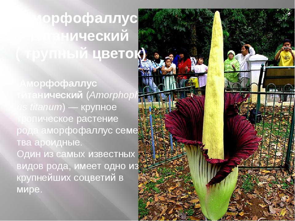 Аморфофаллус титанический(Amorphophallus titanum)— крупное тропическое ра...
