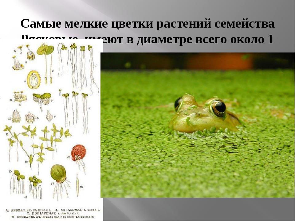 Самые мелкие цветки растений семейства Рясковые, имеют в диаметре всего около...