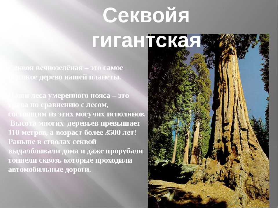 Секвоя вечнозелёная – это самое высокое дерево нашей планеты. Наши леса умере...