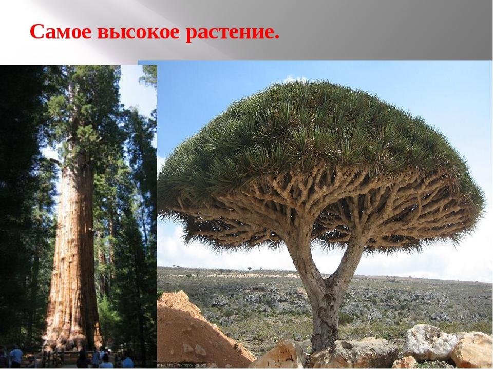 Самое высокое растение.