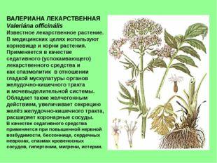 ВАЛЕРИАНА ЛЕКАРСТВЕННАЯ Valeriána officinális Известное лекарственное растени