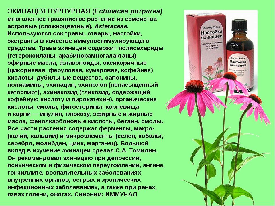 ЭХИНАЦЕЯ ПУРПУРНАЯ (Echinacea purpurea) многолетнее травянистое растение из с...