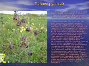 Рябчик русский В некоторых деревнях Поволжья до сих пор можно услышать быль о