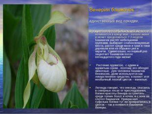 Венерин башмачок – единственный вид орхидеи, произрастающей в нашей полосе. Ц