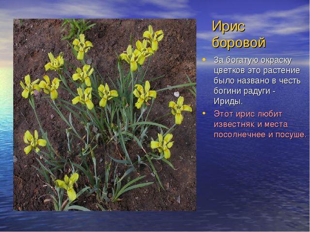 Ирис боровой За богатую окраску цветков это растение было названо в честь бог...