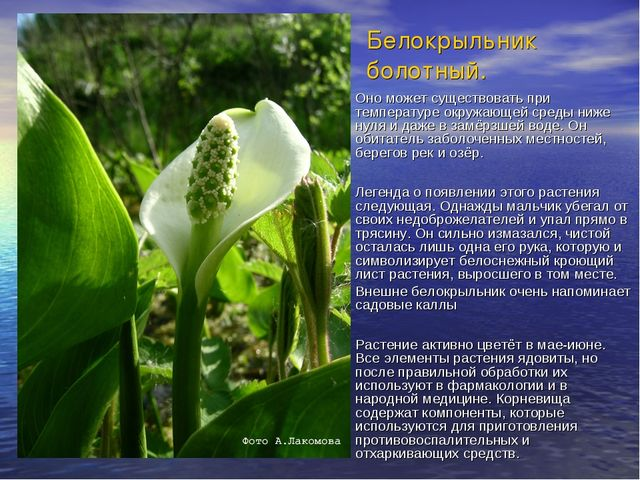 Белокрыльник болотный. Оно может существовать при температуре окружающей сред...