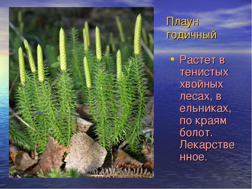 Плаун годичный Растет в тенистых хвойных лесах, в ельниках, по краям болот. Л...
