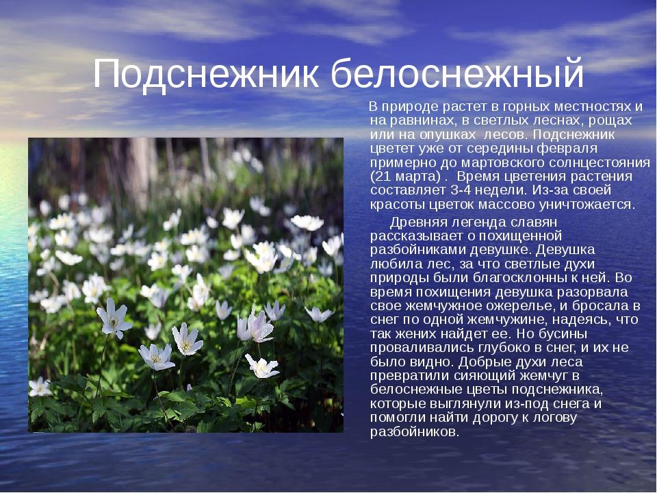 Подснежник белоснежный В природе растет в горных местностях и на равнинах, в...