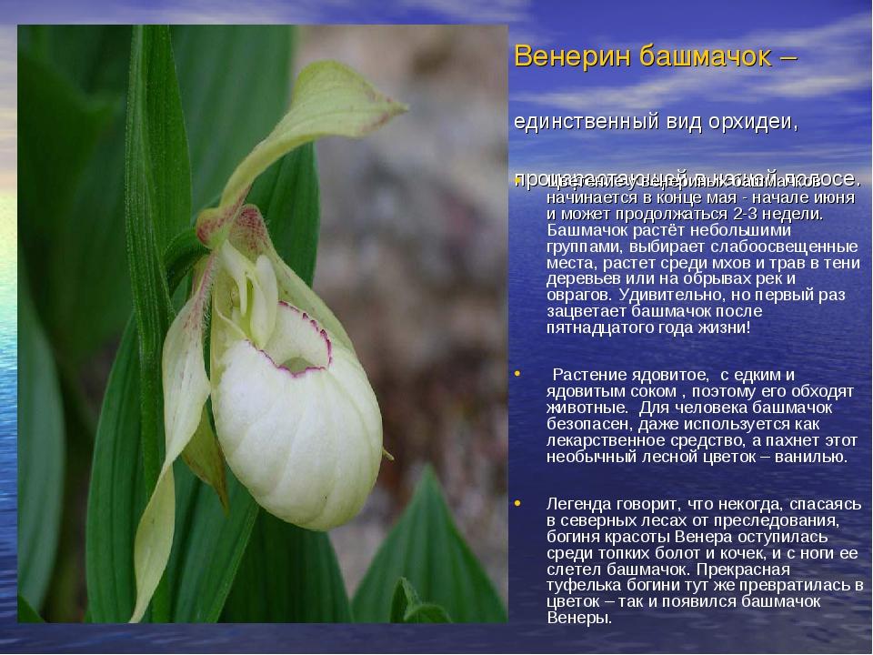 Венерин башмачок – единственный вид орхидеи, произрастающей в нашей полосе. Ц...