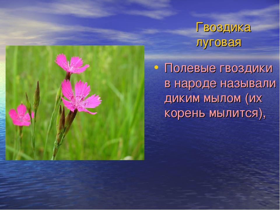 Гвоздика луговая Полевые гвоздики в народе называли диким мылом (их корень мы...