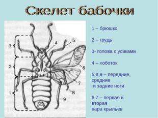 1 – брюшко 2 – грудь 3- голова с усиками 4 – хоботок 5,8,9 – передние, средни