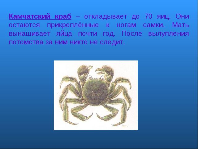 Камчатский краб – откладывает до 70 яиц. Они остаются прикреплённые к ногам с...