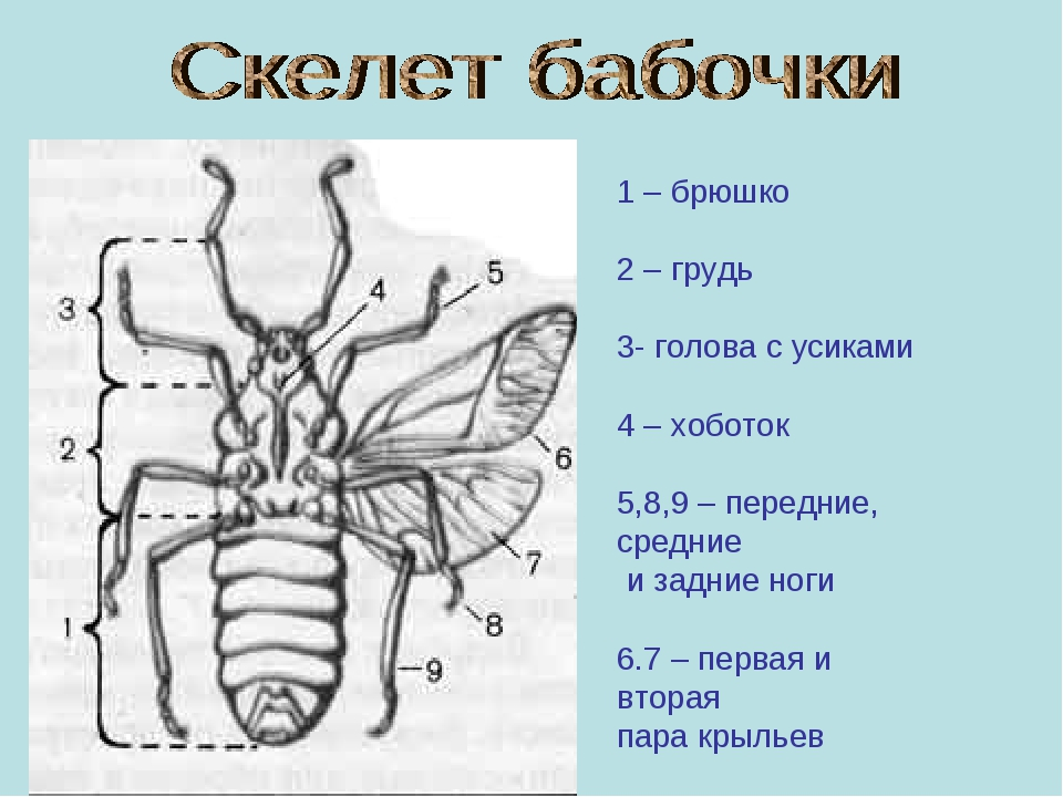 1 – брюшко 2 – грудь 3- голова с усиками 4 – хоботок 5,8,9 – передние, средни...