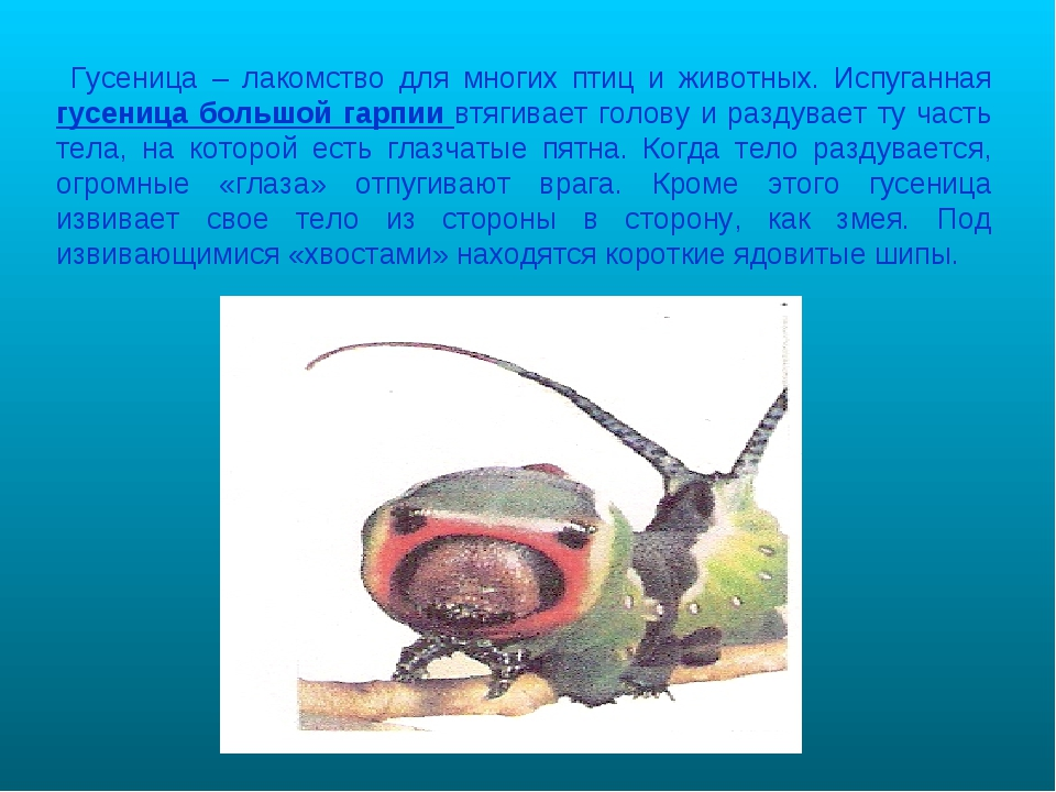 Гусеница – лакомство для многих птиц и животных. Испуганная гусеница большой...