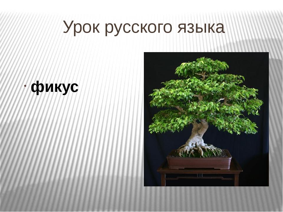 Урок русского языка фикус