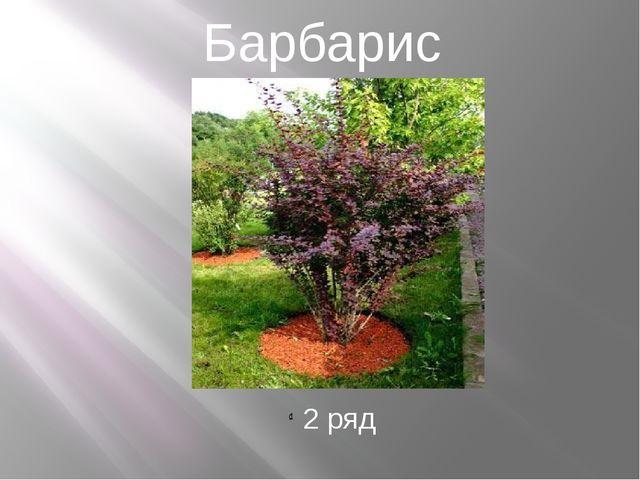 Барбарис 2 ряд
