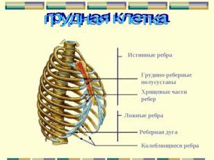 Истинные ребра Грудино-реберные полусуставы Хрящевые части ребер Ложные ребра