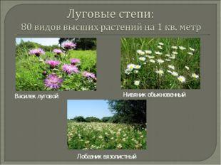 Василек луговой Нивяник обыкновенный Лобазник вязолистный