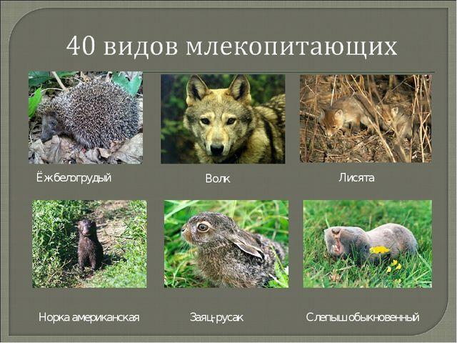 Ёж белогрудый Волк Лисята Норка американская Заяц-русак Слепыш обыкновенный