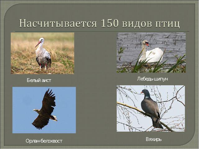 Белый аист Лебедь-шипун Орлан-белохвост Вяхирь