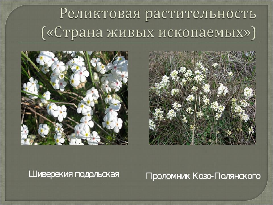 Проломник Козо-Полянского Шиверекия подольская