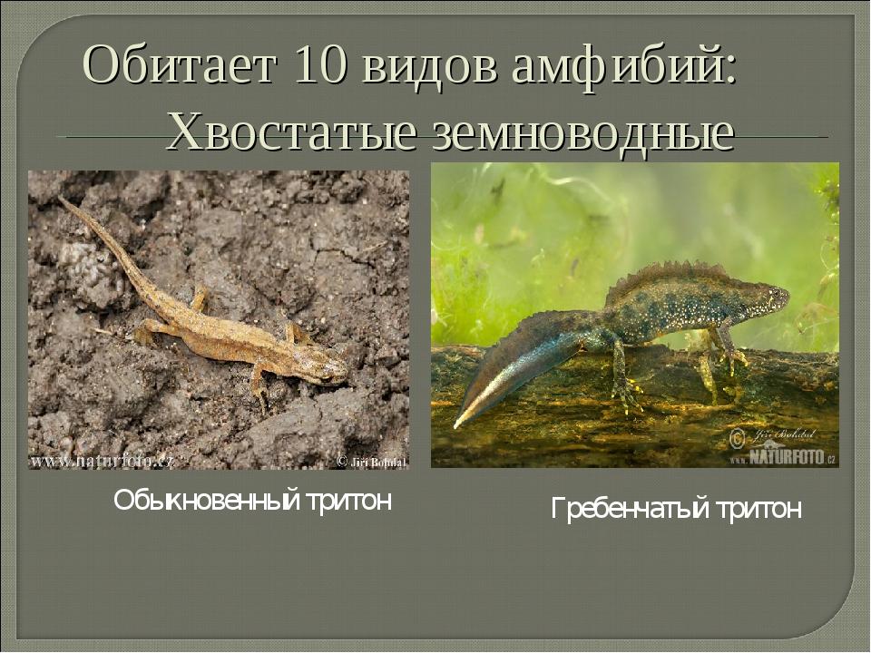 Обыкновенный тритон Гребенчатый тритон Обитает 10 видов амфибий: Хвостатые зе...