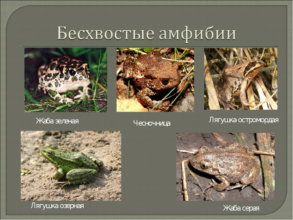 Жаба зеленая Жаба серая Лягушка остромордая Лягушка озерная Чесночница