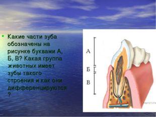 Какие части зуба обозначены на рисунке буквами А, Б, В? Какая группа животных