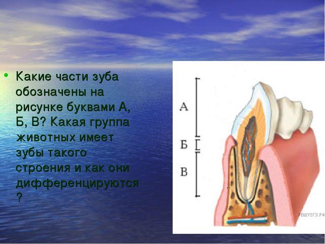 Какие части зуба обозначены на рисунке буквами А, Б, В? Какая группа животных...