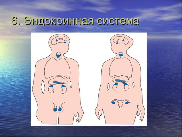 6. Эндокринная система