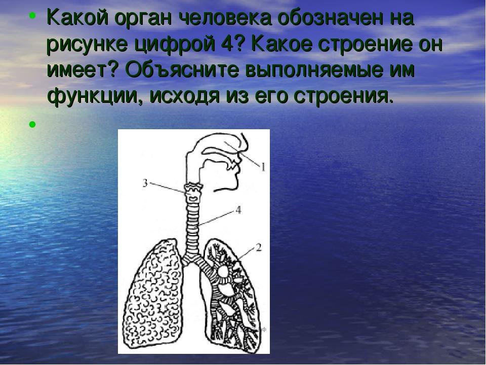 Какой орган человека обозначен на рисунке цифрой 4? Какое строение он имеет?...