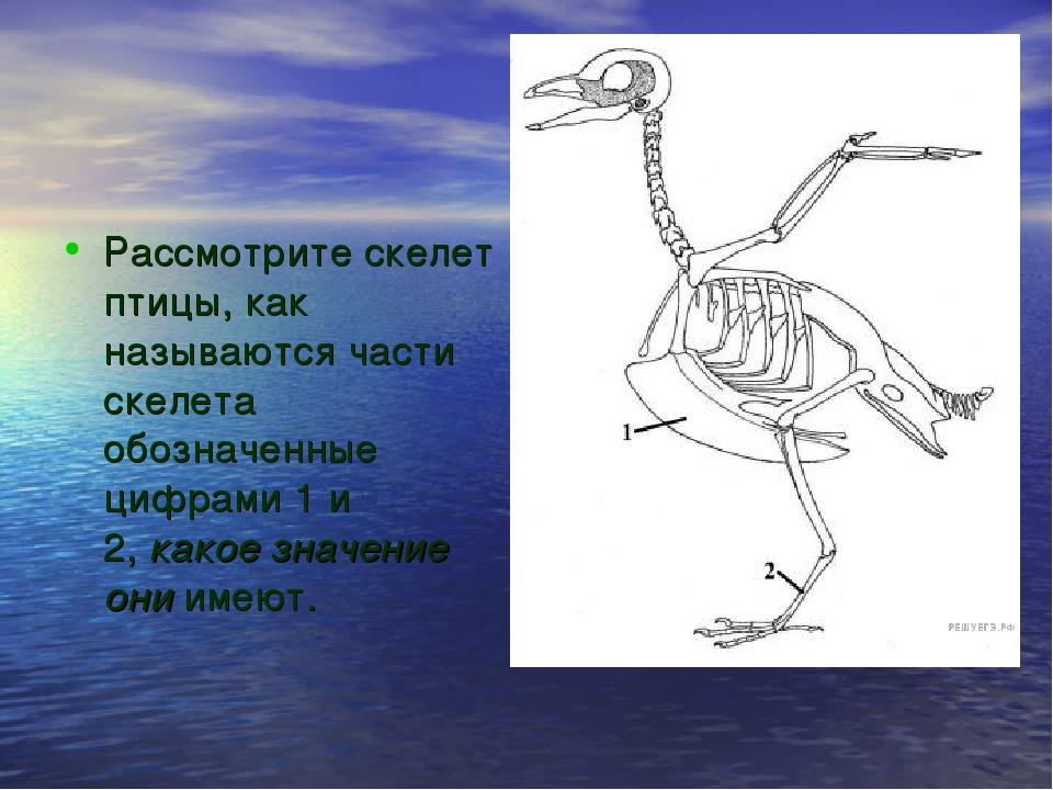 Рассмотрите скелет птицы, как называются части скелета обозначенные цифрами 1...
