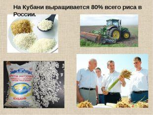 На Кубани выращивается 80% всего риса в России.
