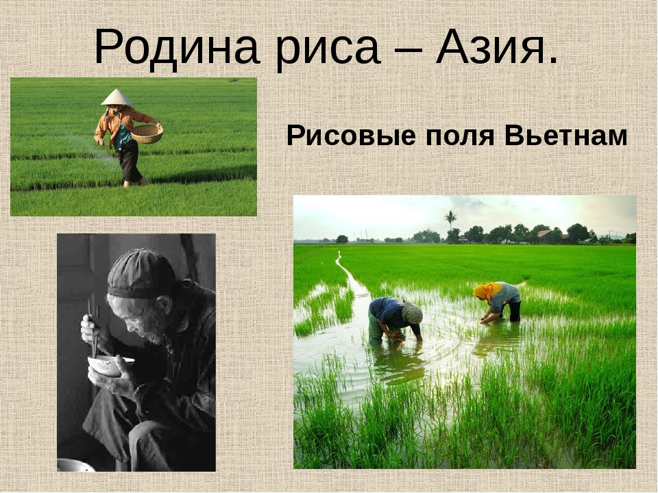 Родина риса – Азия. Рисовые поля Вьетнам