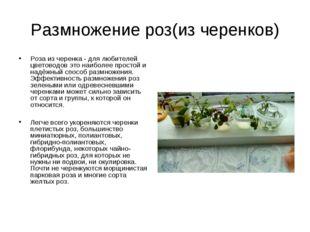 Размножение роз(из черенков) Роза из черенка - для любителей цветоводов это н