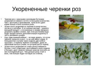 Укорененные черенки роз Черенки роз с красными и розовыми бутонами укореняютс