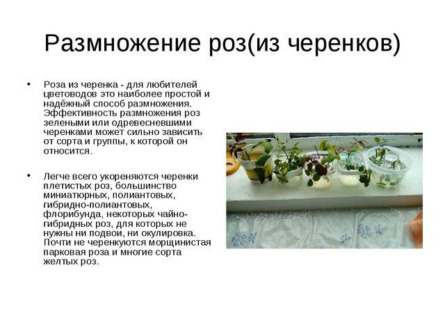 Размножение роз(из черенков) Роза из черенка - для любителей цветоводов это н...