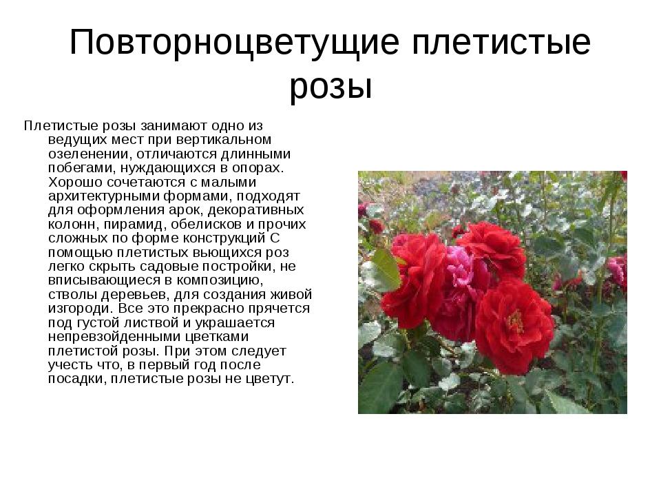 Повторноцветущие плетистые розы Плетистые розы занимают одно из ведущих мест...