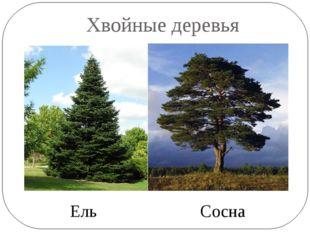 Хвойные деревья Ель Сосна