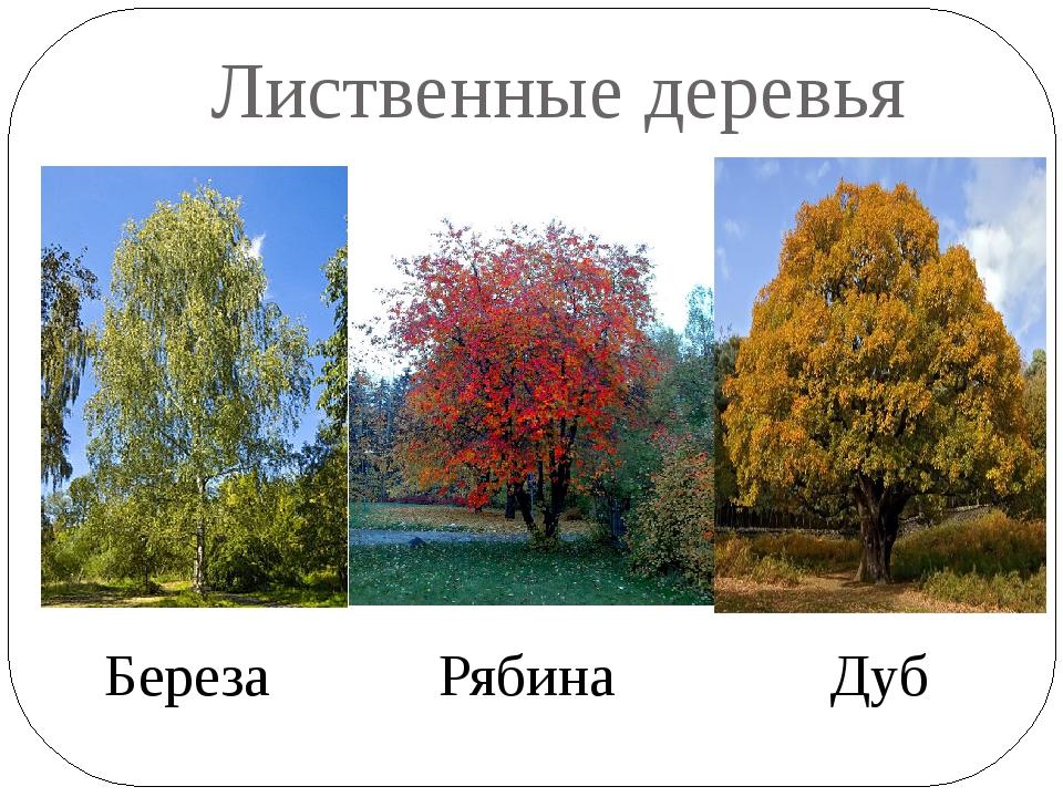 Лиственные деревья Береза Рябина Дуб